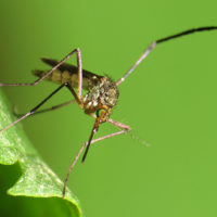 Could climate change make mosquitoes worse in Virginia? The answer is more complicated than you might think.