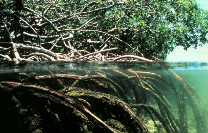 Brazil's Amazonian Mangroves: Crucial for Climate Change Mitigation