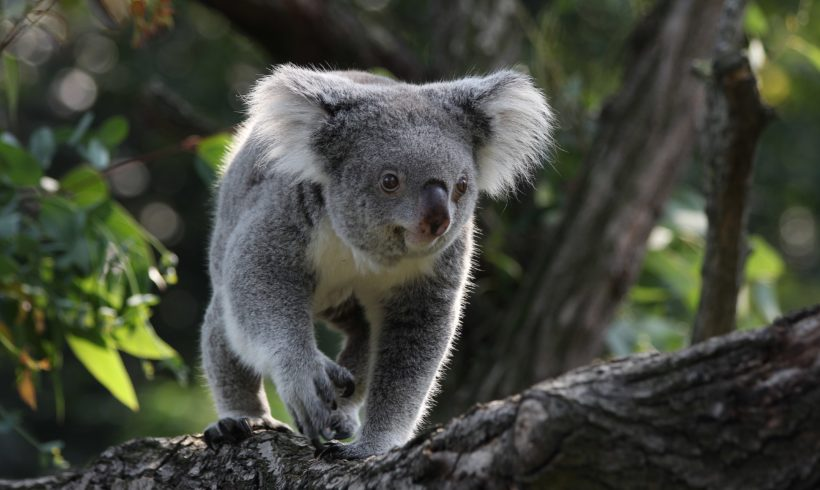 'Without Urgent Govt Intervention,' Koalas Face Extinction in New South Wales by 2050